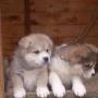 vendo cães filhotes de akita inú com pedigree opcional e facilitação