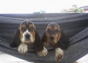 vendo cães filhotes de bassethoud com pedigree opcional só macho