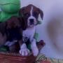 vendo cães filhotes de boxer com pedigree opcional  e facilitação