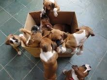 Fotos de Vendo cães filhotes de boxer com pedigree opcional  e facilitação 2