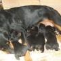 vendo filhotes de rot weiller com pedigree opcional e facilitação