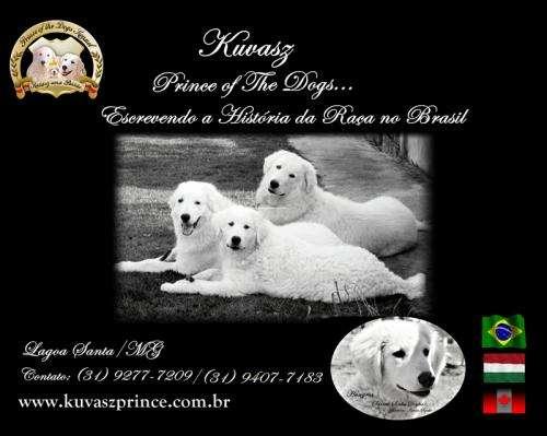 Kuvasz prince of the dogs