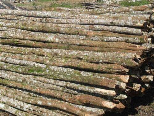 Fotos de Escoras de bracatinga e eucalipto 4