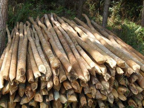 Madeiras de eucaliptos e bracatinga para construção civil