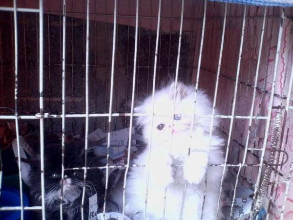 Fotos de Lindos filhotes de gato persa chow  branco olhos azul 2