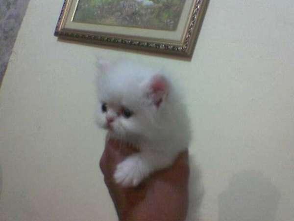 Fotos de Lindos filhotes de gato persa chow  branco olhos azul 3