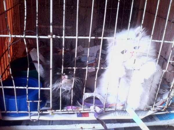 Lindos filhotes de gato persa chow branco olhos azul