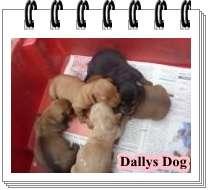 Lindos filhotes de basset/teckel/dachshund