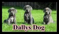 Lindos filhotes de dogue alem?o