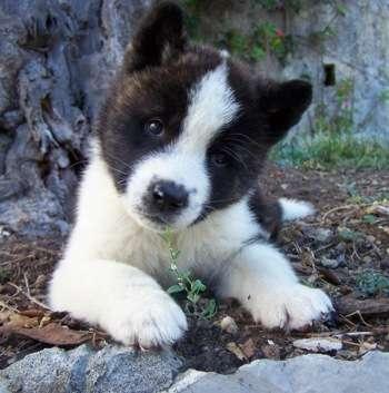 Fotos de Canil dogs valents:excelência em filhotes. 1