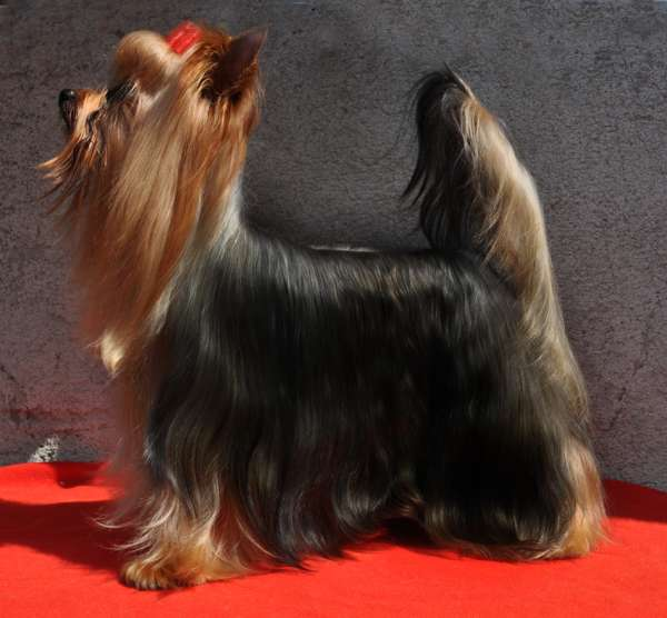 Filhotes de yorkshire terrier real fellow