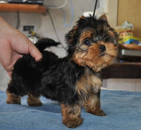 Fotos de Filhotes de yorkshire terrier real fellow 6