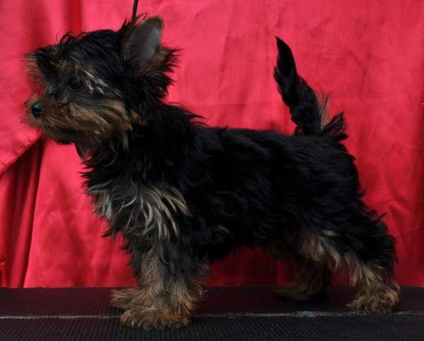 Fotos de Filhotes de yorkshire terrier real fellow 2