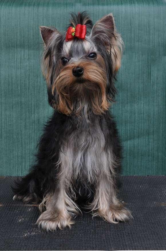 Fotos de Filhotes de yorkshire terrier real fellow 4