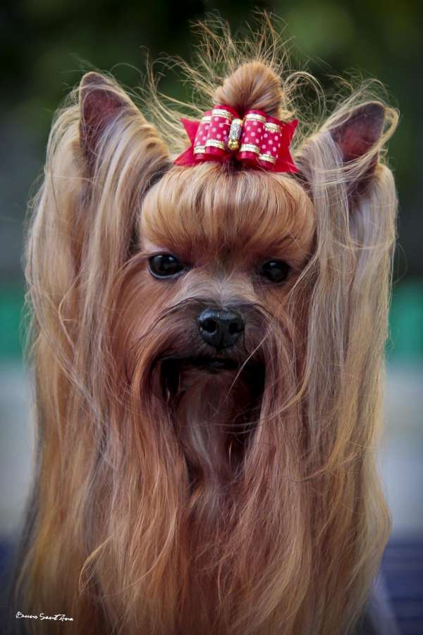 Fotos de Filhotes de yorkshire terrier real fellow 5