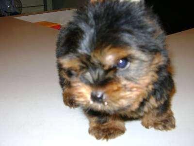 Yorkshire terrier macho porte pequeno