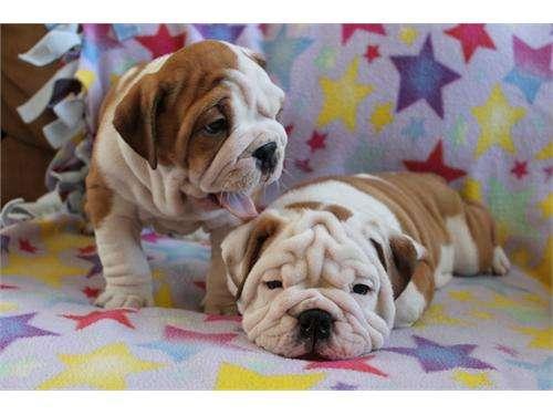Fotos de Bulldog inglês para adopção, a amar e cuidar casas 2