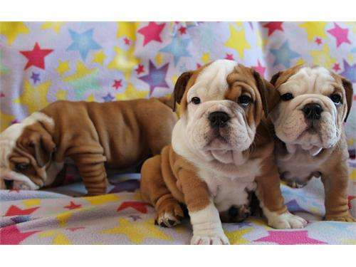 Bulldog inglês para adopção, a amar e cuidar casas