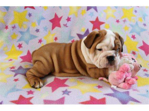 Fotos de Bulldog inglês para adopção, a amar e cuidar casas 4