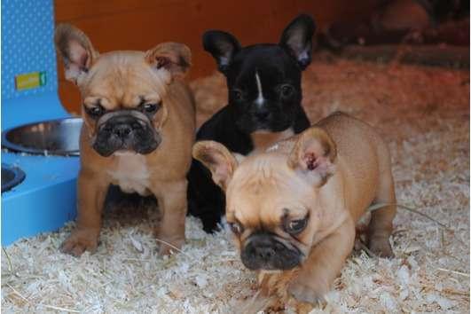 Lindos filhotes de bull dog francês