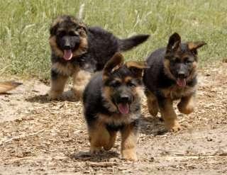 Fotos de Lindos filhotes de pastor alemão capa preta 3