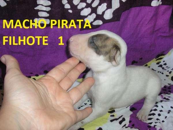 Bull terrier (so machos) pirates , solidos e com marcações com ou sem pedigree