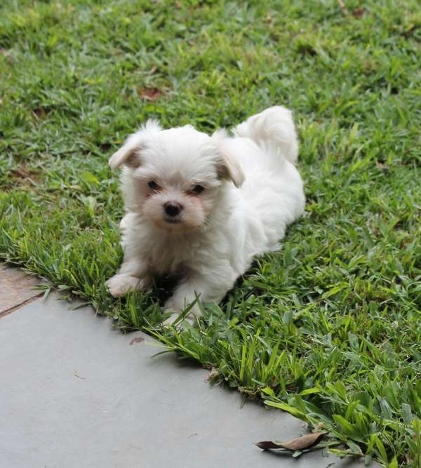 Canil puppy of life- vd filhotes maltes-sp