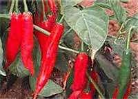 Bombons trufados em uberlãndia (bombom de pimenta)