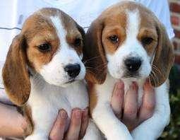 Beagle filhotes para adoção.tenho 4 filhotes beagle