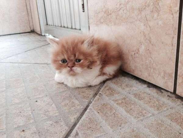 Lindos(as) gatos (as)persas...