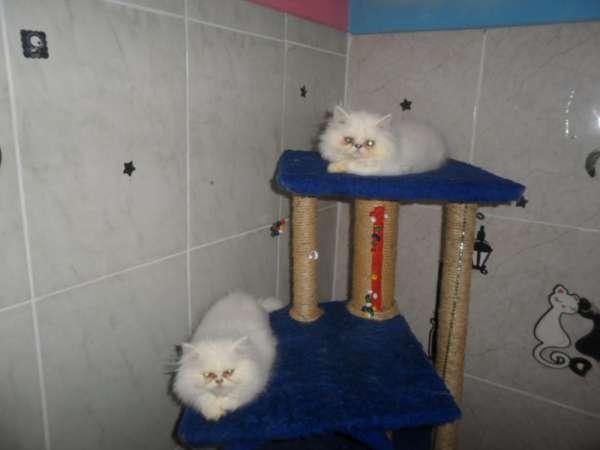 Gatos(as) persas filhotes