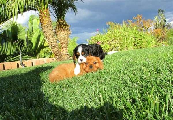 Calidad cachorros yorkshire terrier buscando obra nueva
