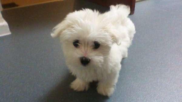 Filhote de cachorro maltês à procura de um lar carinhoso