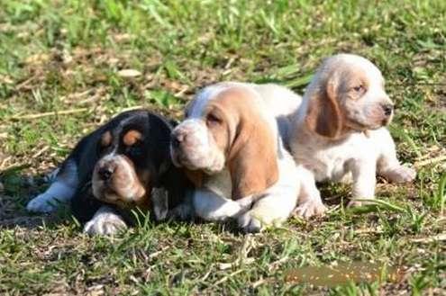 Lindos e fofos filhotes de basset hound