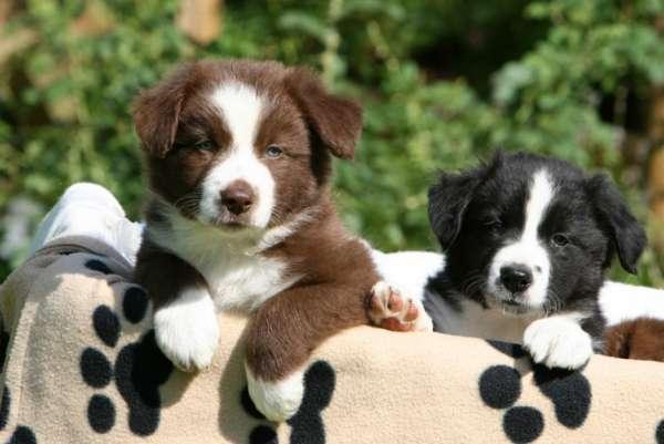 Lindos e fofos filhotes de border collie