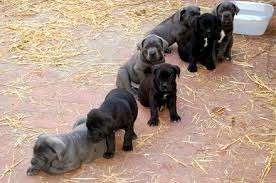 Lindos filhotes de cane corso