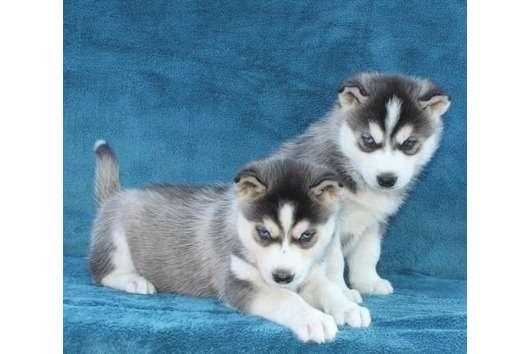 Lindos filhotes de husky siberiano promoção de natal