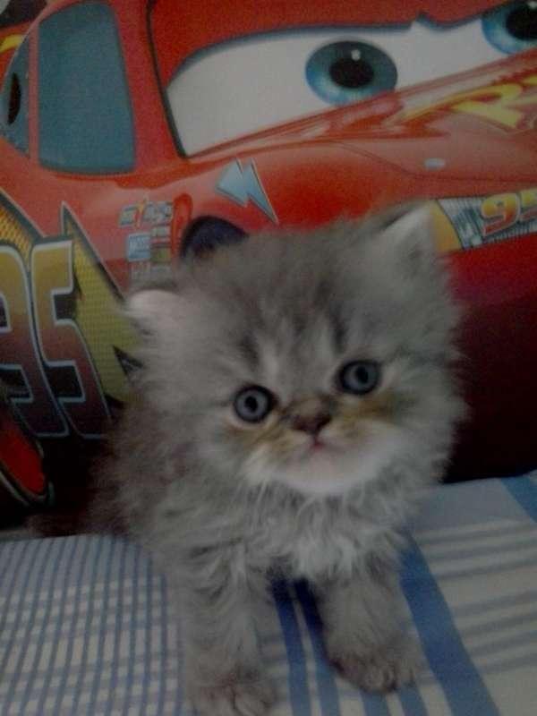 Filhotes de gatos persa para reservas