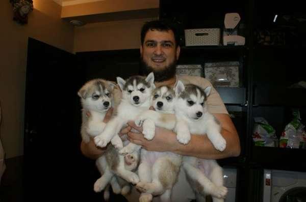Olhos azuis filhotes husky siberiano