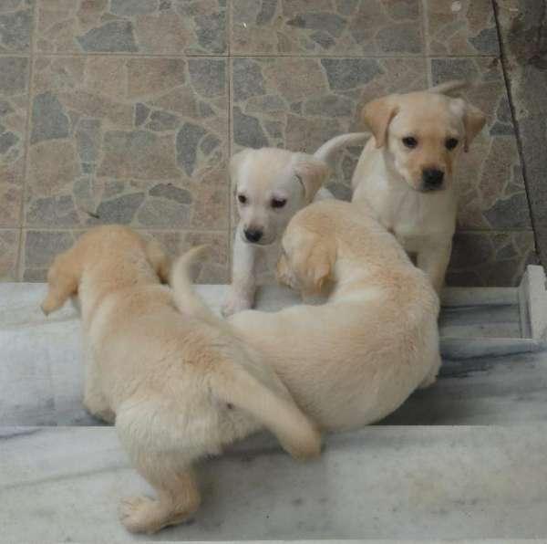 Labradores retriever puros excelente ninhada!