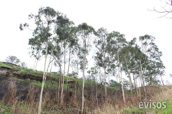 Eucaliptos dentro do terreno