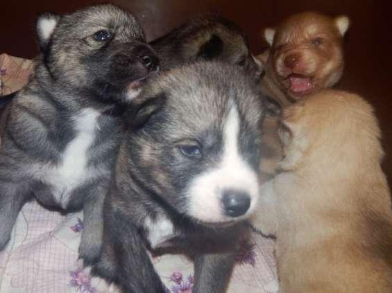 Olhos azuis cachorros siberianos de cachorrinhos de graça