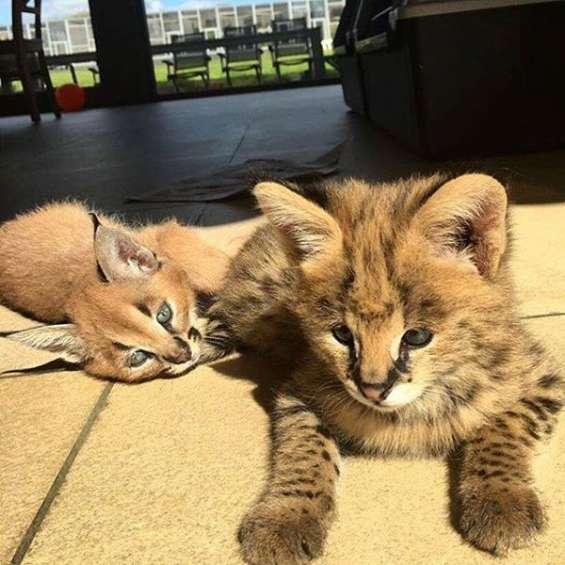 Serval, savana e caracal gatinhos para venda